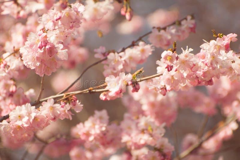 Fiori di ciliegia in primavera fotografie stock