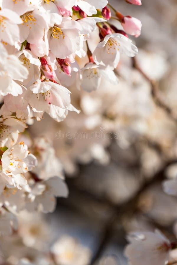 Fiori di ciliegia di primo mattino - inquadratura fotografia stock libera da diritti