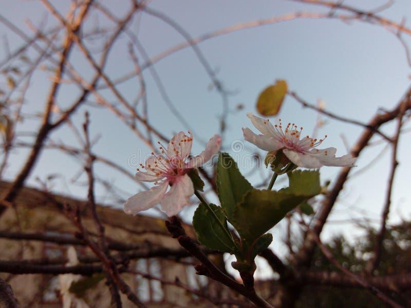 Fiori di ciliegia selvatica in autunno immagine stock libera da diritti