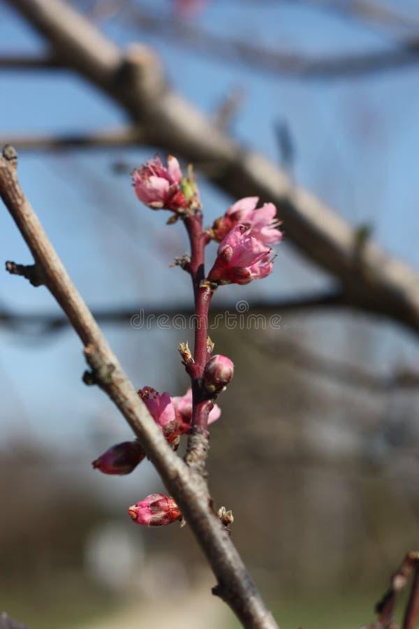 Fiori di ciliegia sul ciliegio fotografie stock libere da diritti