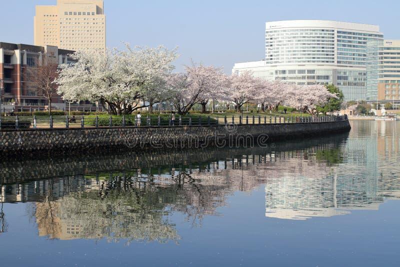 Fiori di ciliegia sulla passeggiata di Kishamichi, Yokohama fotografia stock libera da diritti