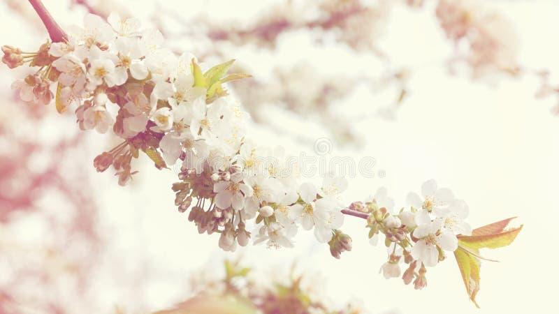 Fiori di ciliegia vaghi come confine naturale Stagione o Hanami di Sakura Fuoco molle astratto, spazio della copia, fondo di stru fotografia stock libera da diritti