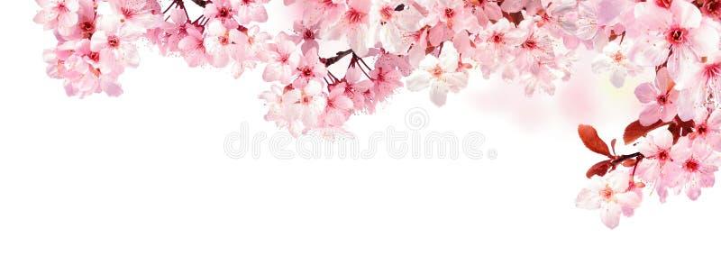 Fiori di ciliegia vaghi isolati su bianco immagine stock