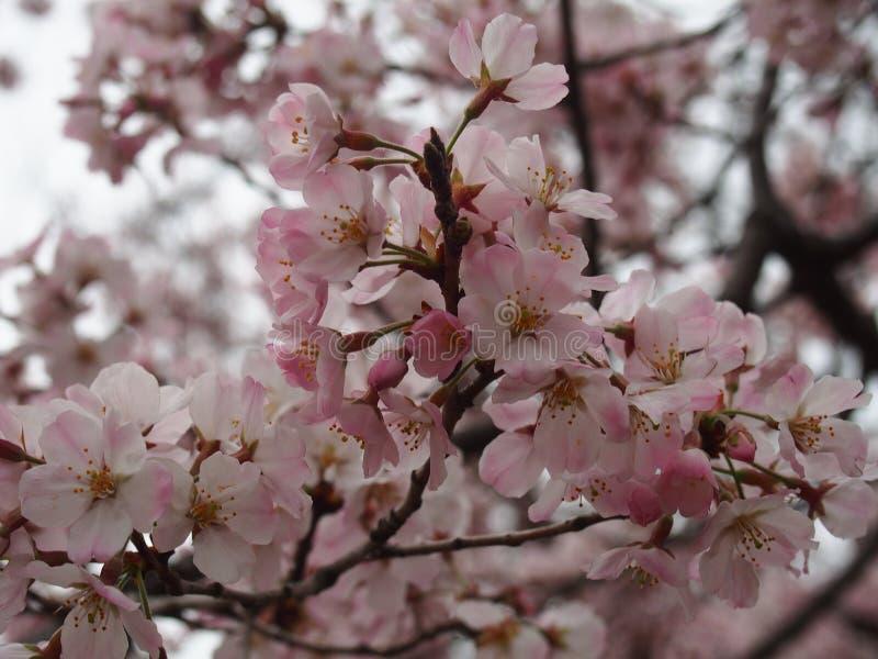 Fiori di ciliegia di Yoshino al santuario di Toshogu del parco di Ueno fotografie stock