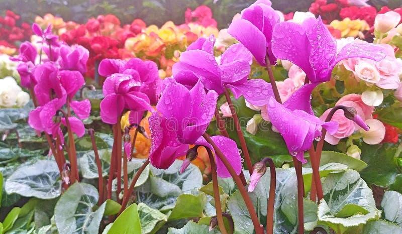 Fiori di Cyclamen Fiori per arrivederci Fiori e foglie bei immagini stock