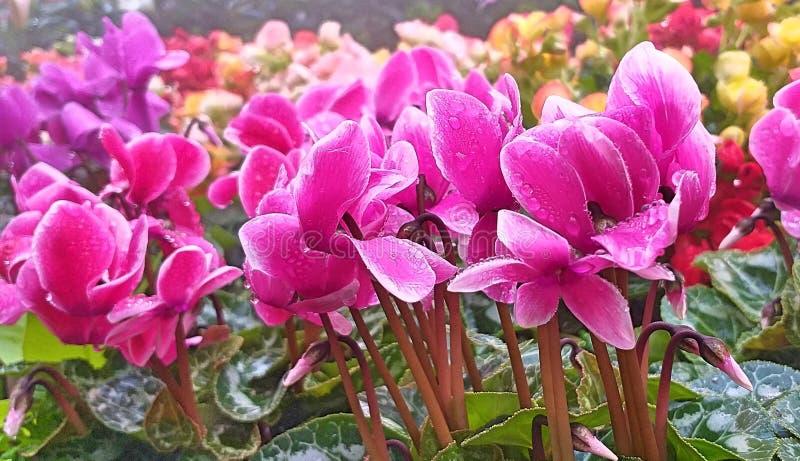 Fiori di Cyclamen Fiori per arrivederci Fiori e foglie bei fotografie stock libere da diritti