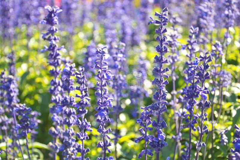 fiori di erbe di salvia blu fotografia stock libera da diritti