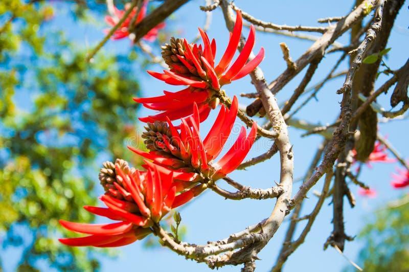 Fiori di Erythrina Speciosa fotografie stock