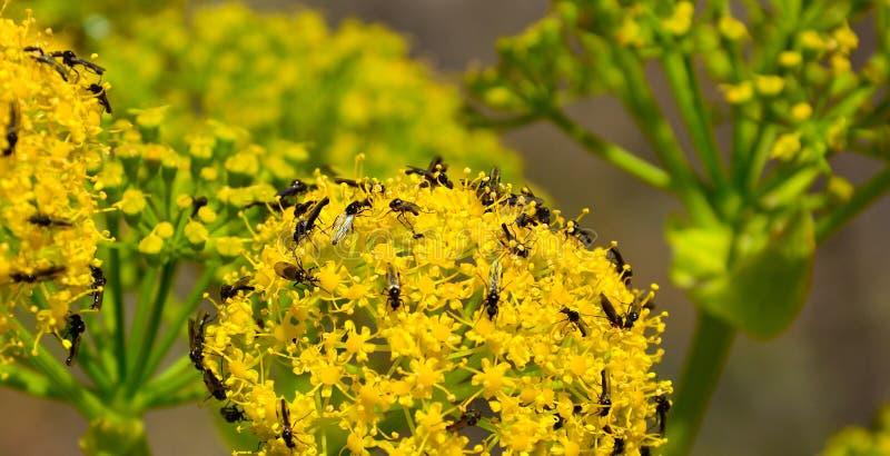 Fiori di finocchio con lo sciame di piccole mosche fotografia stock libera da diritti