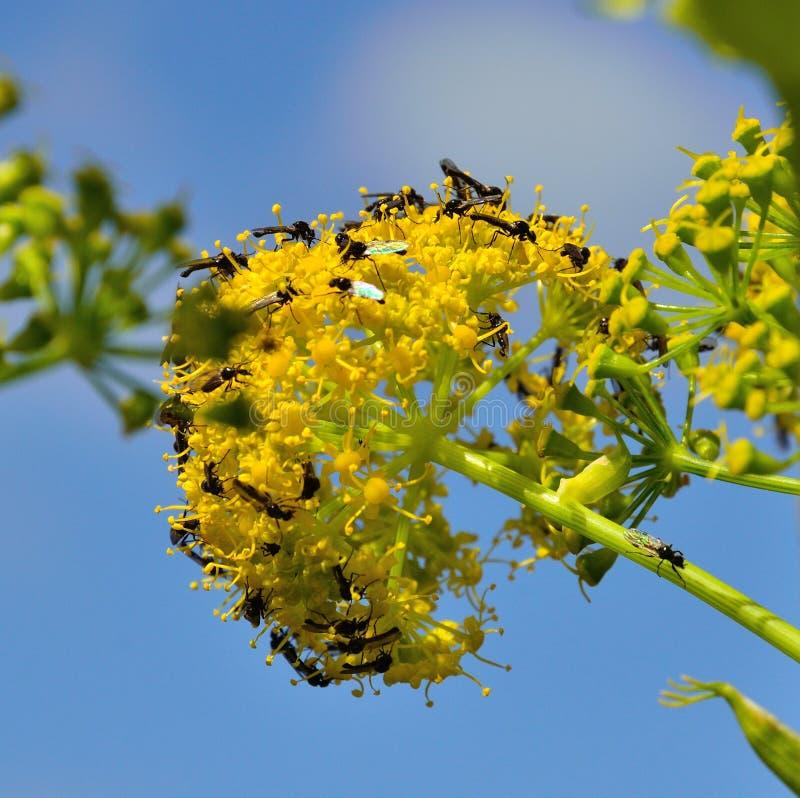 Fiori di finocchio con lo sciame di piccoli insetti alati fotografia stock