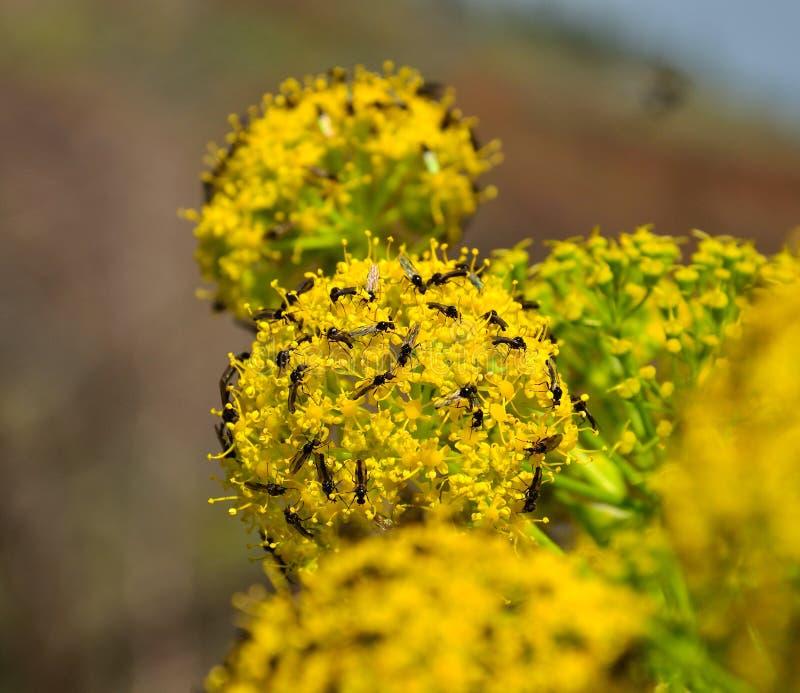 Fiori di finocchio coperti di piccoli insetti fotografia stock libera da diritti
