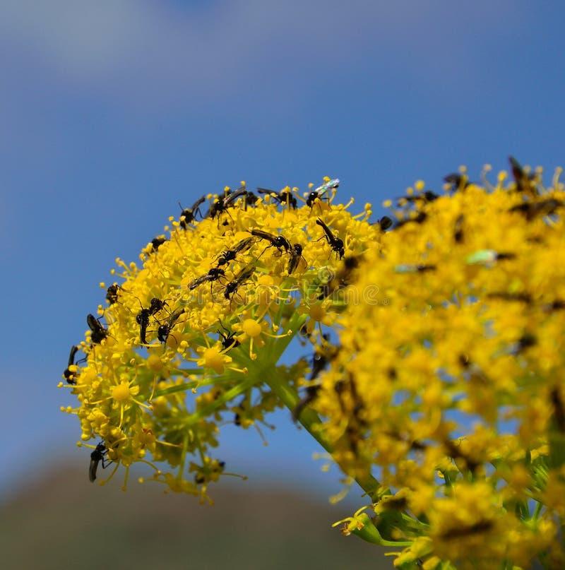 Fiori di finocchio splendidi coperti di piccoli insetti immagini stock