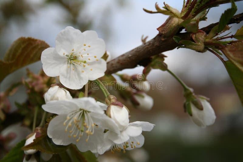 Fiori di fioritura immagini stock libere da diritti