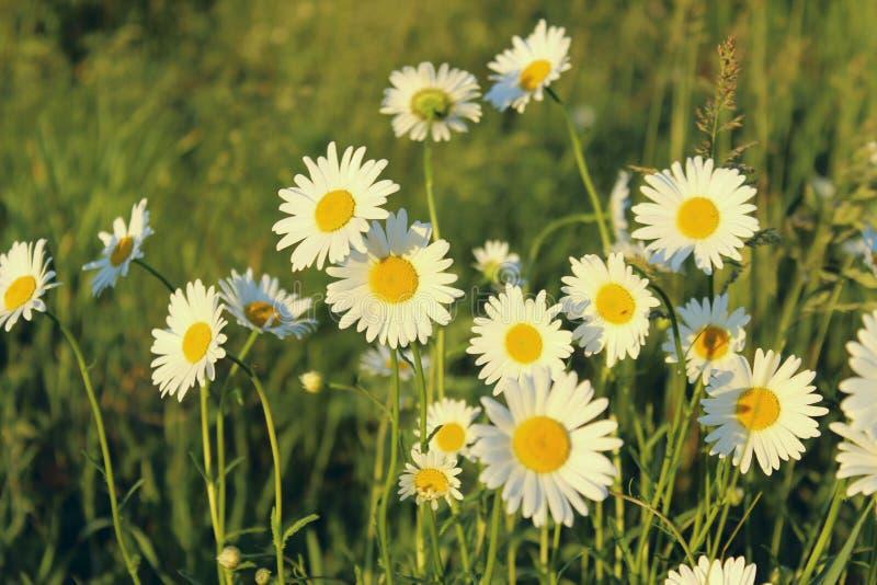 Fiori di fioritura Ambiente del giardino del Wildflower immagini stock