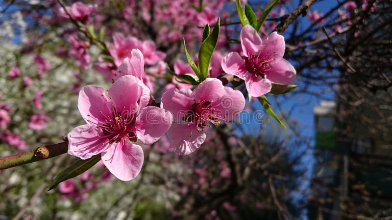 Fiori di fioritura del ciliegio di primavera immagine stock