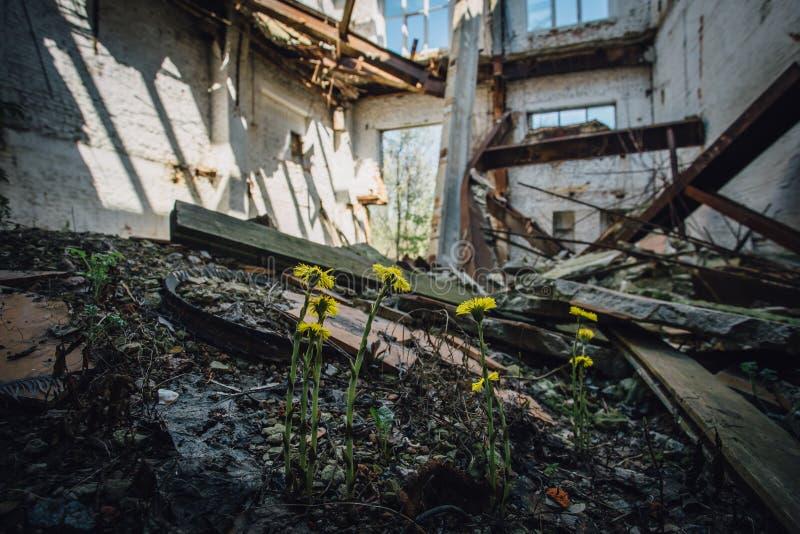 Fiori di fioritura del coltsfoot in fabbricato industriale rovinato abbandonato immagine stock