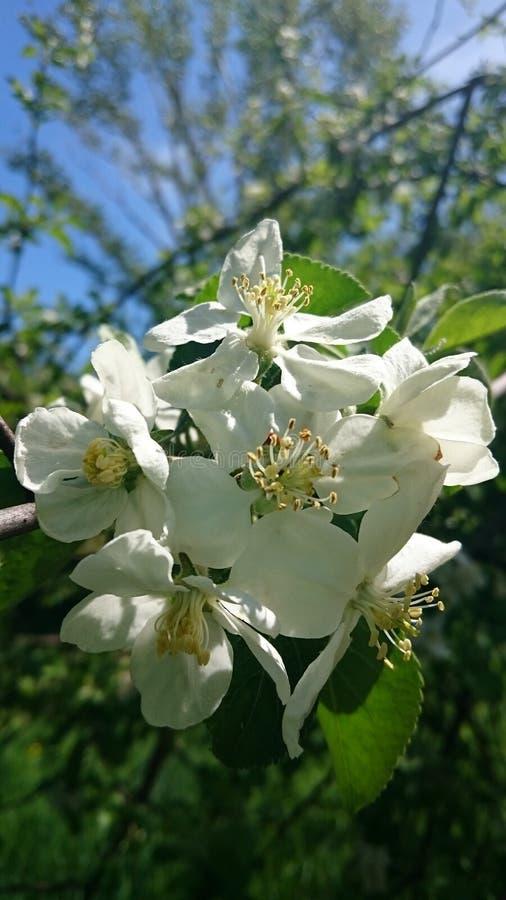 Fiori di fioritura dell'albero della molla bianca fotografia stock libera da diritti