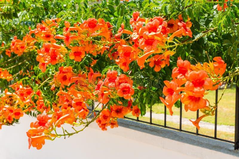 Fiori di fioritura dell'arancia sul recinto fotografia stock