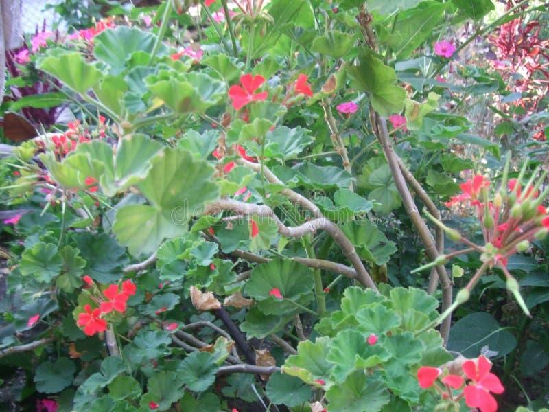 fiori di fioritura della casa fotografia stock