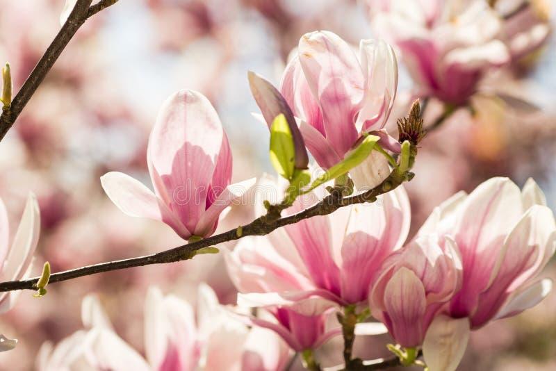 Fiori di fioritura della magnolia fotografia stock