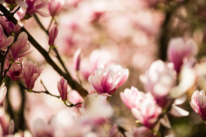 Fiori di fioritura della magnolia immagine stock