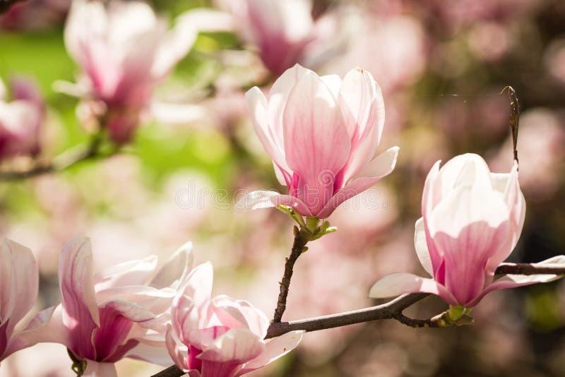 Fiori di fioritura della magnolia fotografia stock libera da diritti