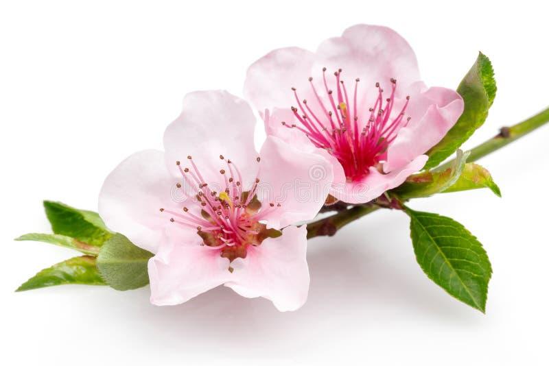 Fiori di fioritura della mandorla su un ramo sottile isolato su backg bianco fotografie stock