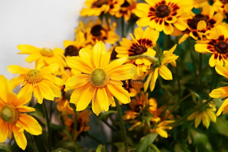 Fiori di fioritura di Rudbeckia in mazzi densi Mazzo del primo piano immagini stock libere da diritti