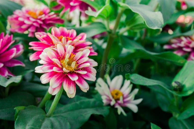Fiori di fioritura di tsiniya dell'aiola nel parco immagini stock