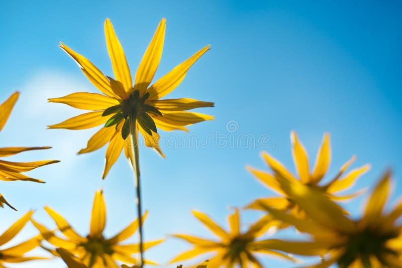 Fiori di giallo contro cielo blu fotografia stock