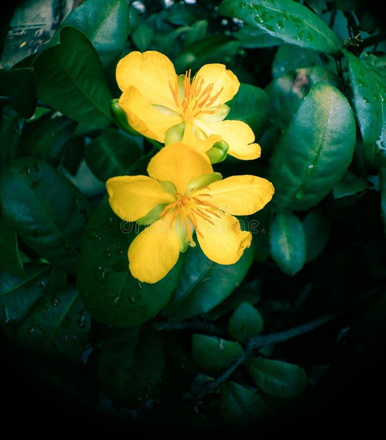 Fiori di giallo della pianta di fortuna dell'albero dei soldi fotografie stock