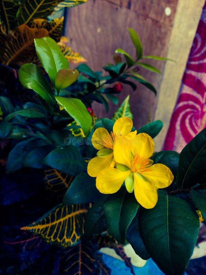 Fiori di giallo della pianta di fortuna dell'albero dei soldi immagini stock libere da diritti
