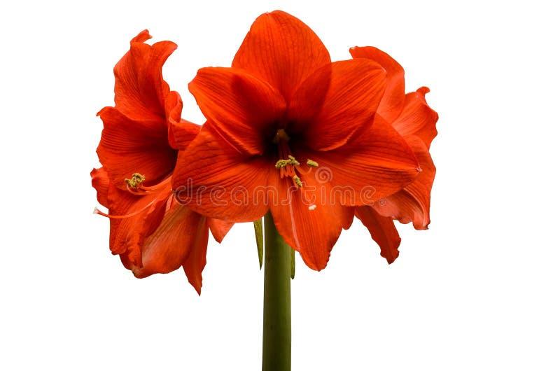 Fiori di grande fiore rosso isolato su fondo bianco fotografie stock