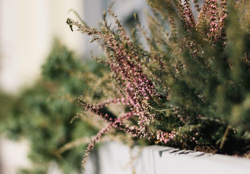 Fiori di Heather rosa con le foglie verdi nel primo piano del letto di fiore della città Belle pianta ed erba ornamentali immagini stock libere da diritti