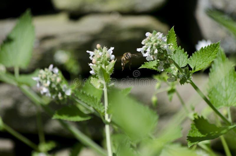Fiori di Honey Bee Flying Among Catnip immagine stock libera da diritti