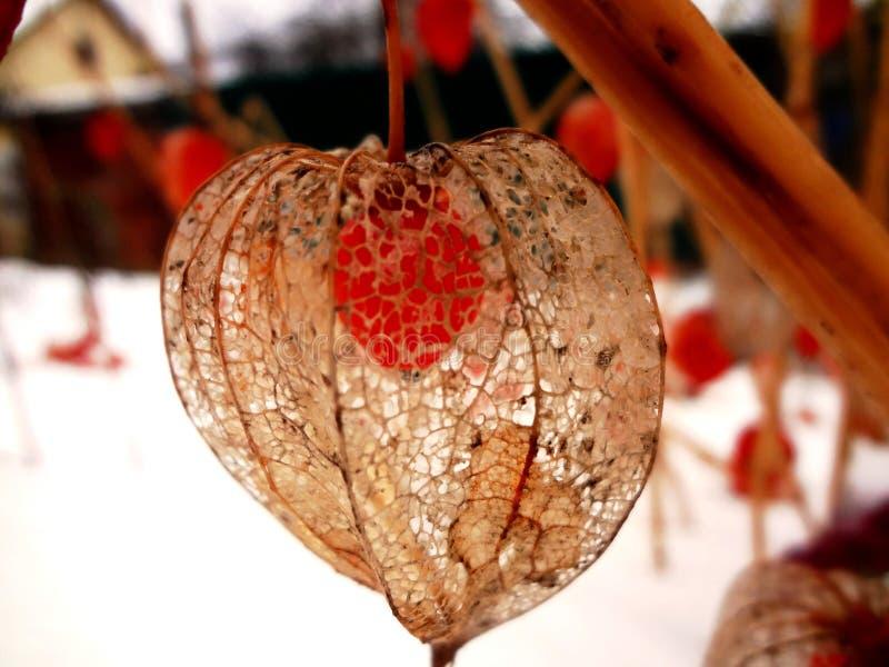 fiori di inverno - physalis fotografia stock libera da diritti