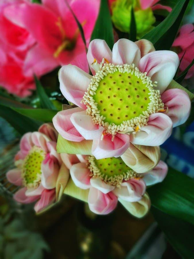 Fiori di loto rosa piegati fotografie stock