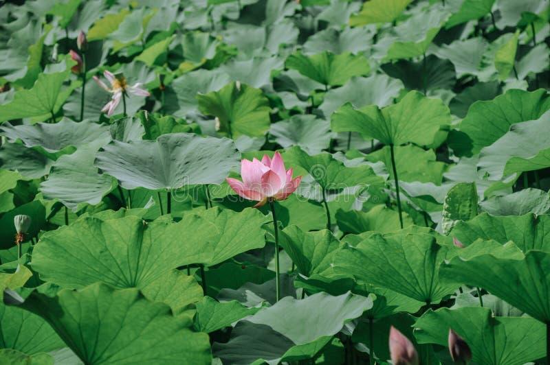 Fiori di loto rosa in stagno immagine stock
