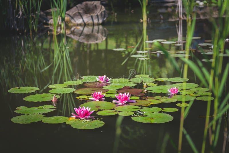 Fiori di Lotus 2 immagine stock libera da diritti