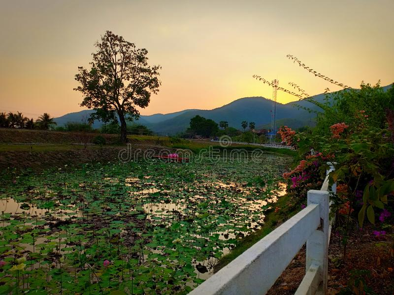Fiori di Lotus in Tailandia fotografie stock
