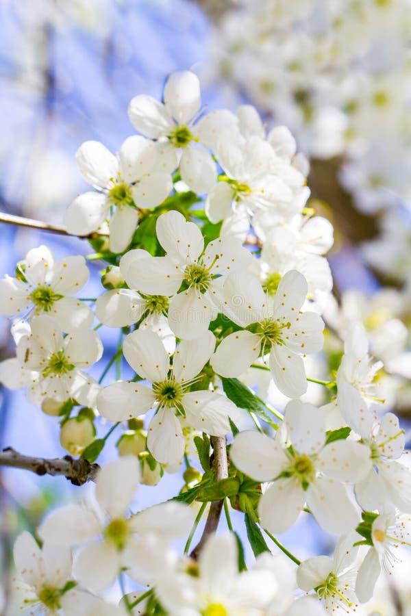 Fiori di di melo su un ramo con le foglie verdi in primavera immagini stock