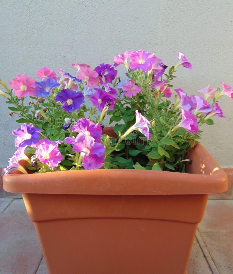 Fiori di mini petunie in un'aria aperta crescente del vaso, ibrido di Calibrachoa fotografie stock