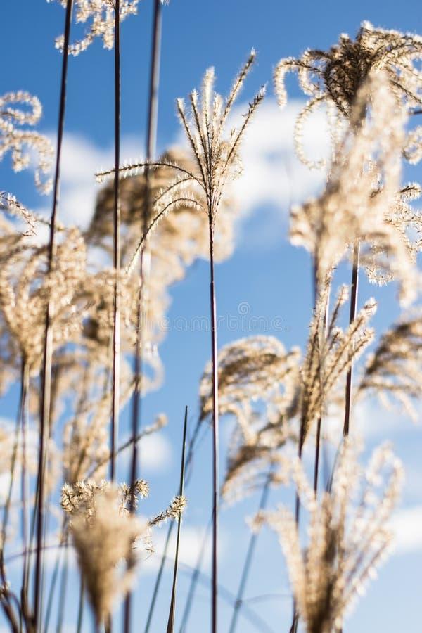 Fiori di Miscanthus su una mattina soleggiata di inverno immagini stock libere da diritti