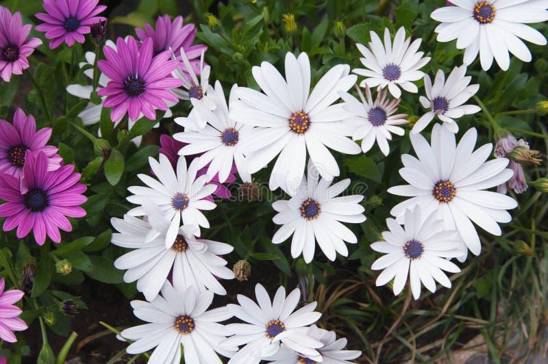 Fiori di Osteospermum immagini stock libere da diritti