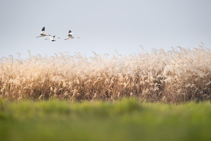 Fiori di Reed e cicogna bianca orientale fotografie stock