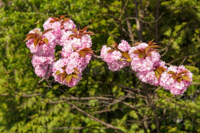 Fiori di Rosa del ciliegio sbocciante sul fondo delle foglie verdi fotografie stock
