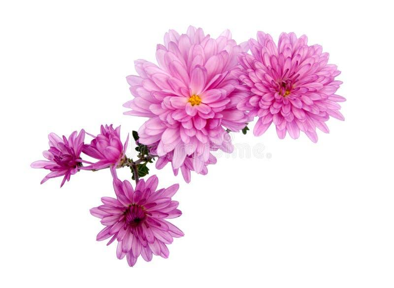 fiori di rosa del crisantemo isolati immagini stock libere da diritti