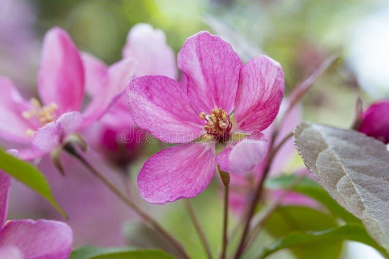 Fiori di rosa del fiore della mela di granchio e germogli di di melo sboccianti della molla fotografia stock