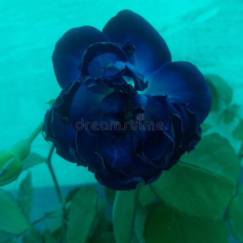 Fiori di rosa dell'azzurro fotografie stock
