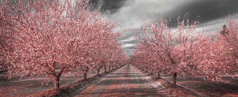 Fiori di rosa di California in bianco e nero fotografia stock